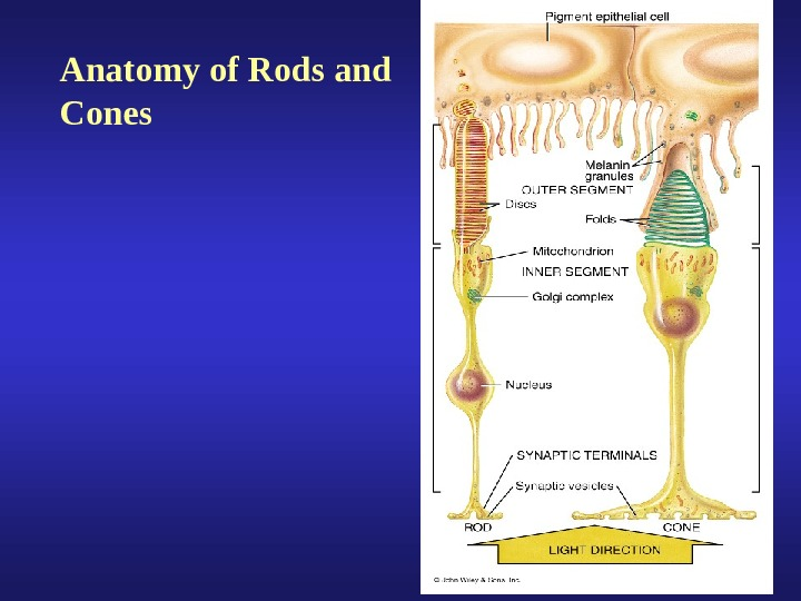 Anatomy of Rods and Cones