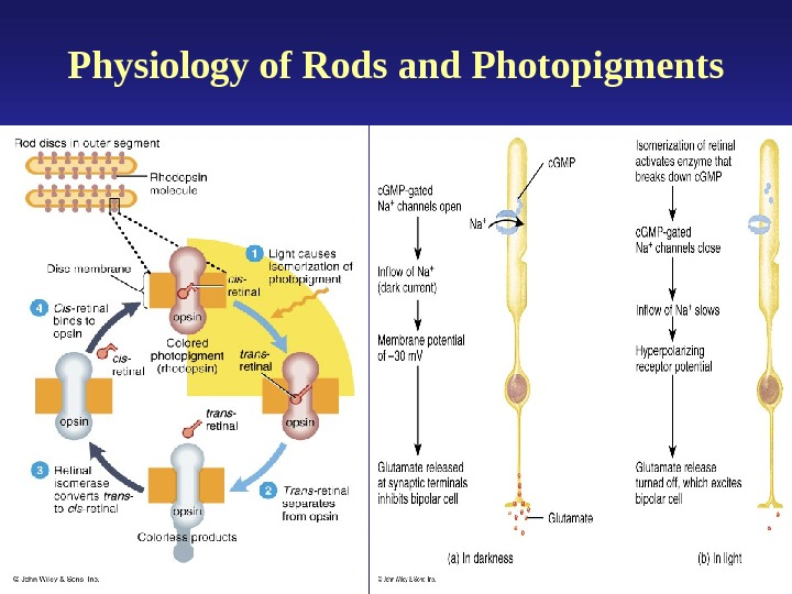 Physiology of Rods and Photopigments