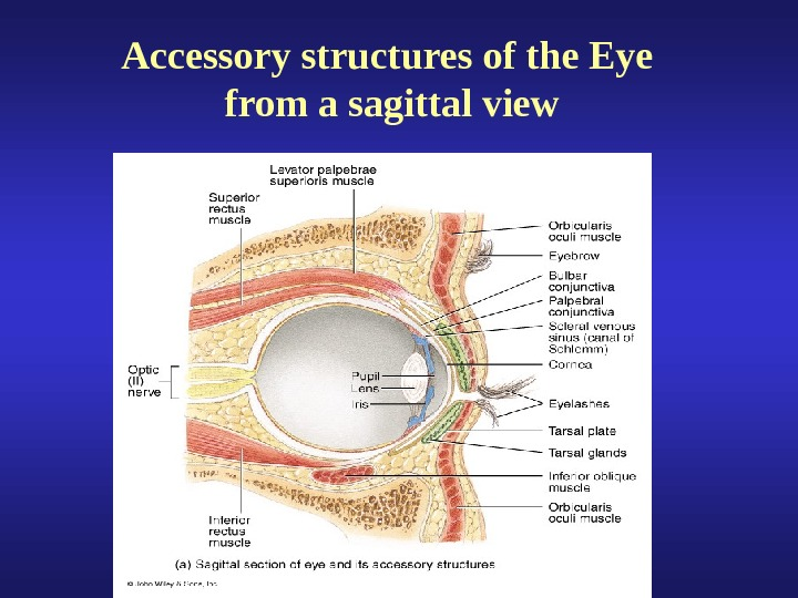Accessory structures of the Eye from a sagittal view