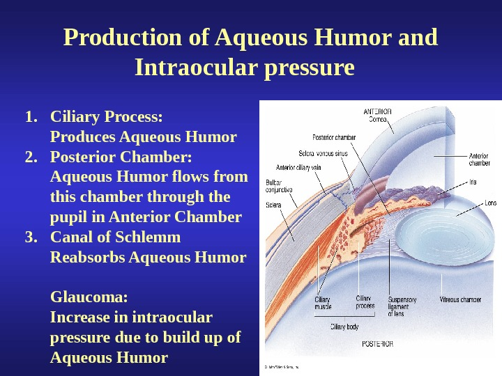 Production of Aqueous Humor and Intraocular pressure  1. Ciliary Process: Produces Aqueous Humor 2.