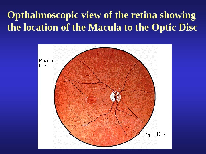 Opthalmoscopic view of the retina showing the location of the Macula to the Optic Disc