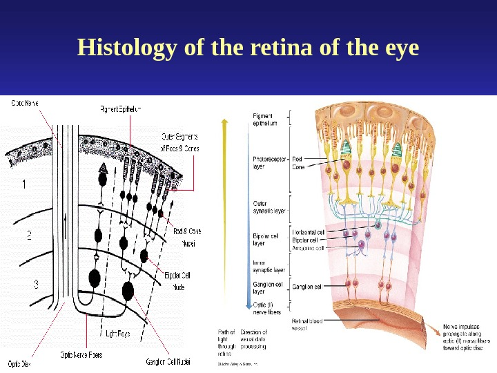 Histology of the retina of the eye