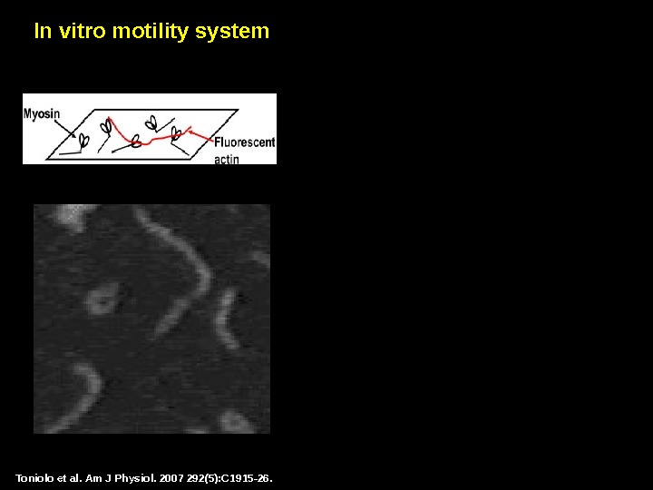 Toniolo et al.  Am J Physiol. 2007 292(5): C 1915 -26. In vitro motility system