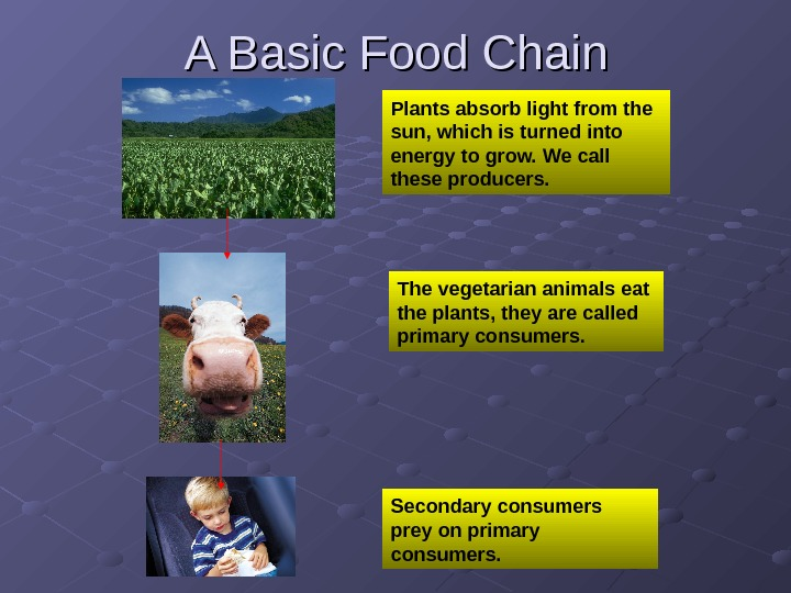 A Basic Food Chain Plants absorb light from the sun, which is turned into energy to