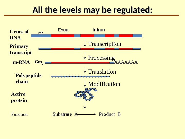 All the levels may be regulated: Transcription Processing Translation AAAAAAAGenes of DNA Primary   transcript