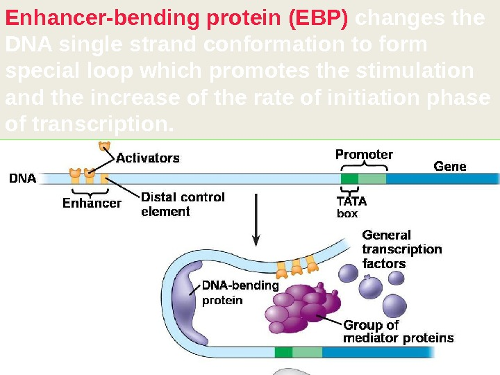 Enhancer-bending protein (EBP) changes the DNA single strand conformation to form special loop which promotes the