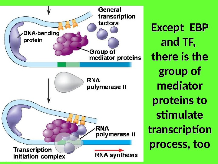 Except EBP and TF,  there is the group of mediator proteins to stimulate transcription process,