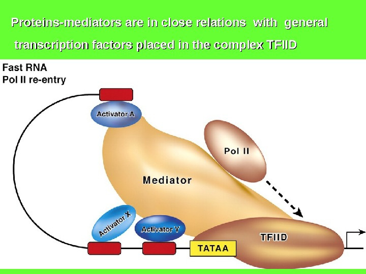 Proteins-mediators are in close relations with general  transcription factors placed in the complex TFIID