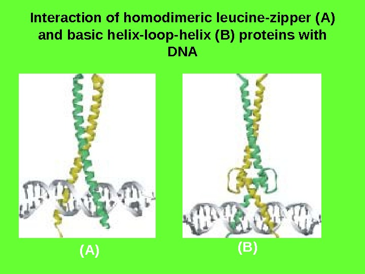 Interaction of homodimeric leucine-zipper (A) and basic helix-loop-helix ( B ) proteins with DNA (A) (B)