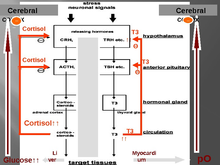 Cerebral cortex T 3 ↑ ↑Cortisol↑↑ Θ ΘCortisol ↑↑ T 3 ↑↑ Glucose↑↑ p. O 2