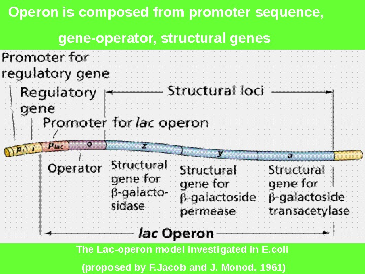 Operon is composed from promoter sequence,  gene-operator, structural genes The Lac-operon model investigated in