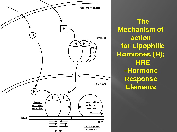 The Mechanism of action for Lipophilic Hormones (H); HRE –Hormone Response Elements