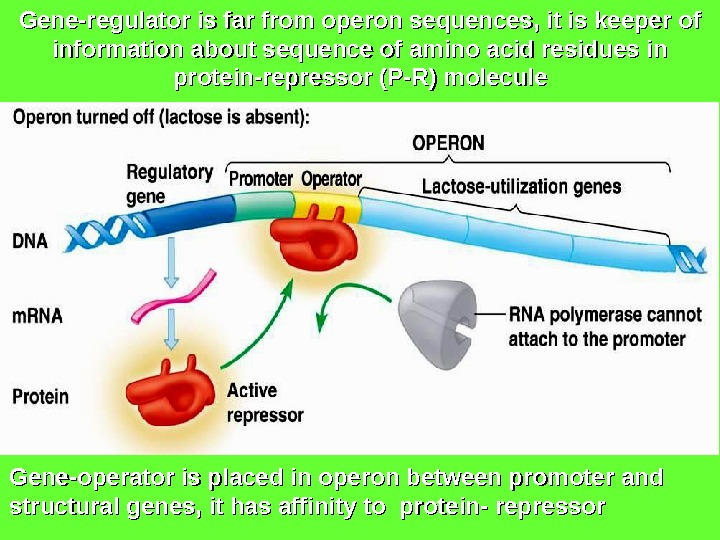 Gene-regulator is far from operon sequences, it is keeper of information about sequence of amino acid