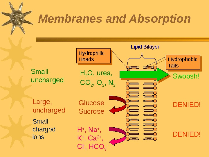 Membranes and Absorption Lipid Bilayer Small,  uncharged Large,  uncharged Small charged ions H 2