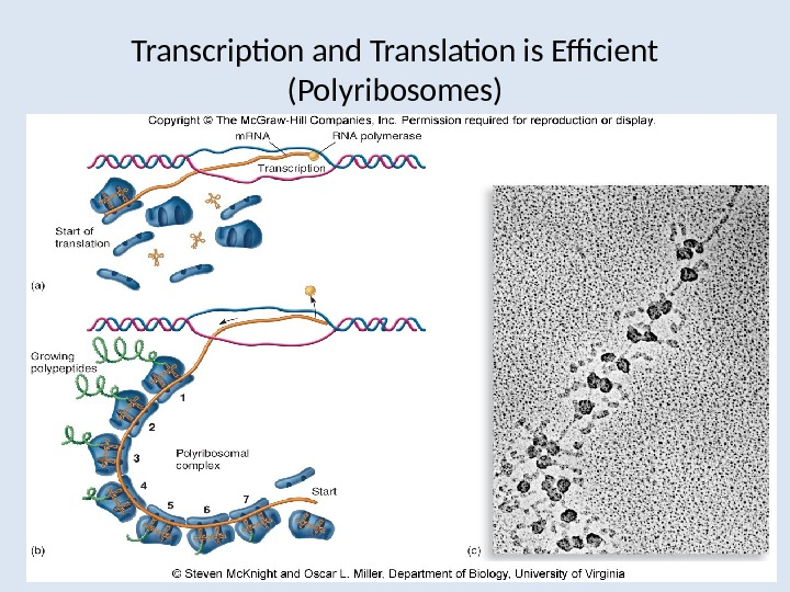 Transcription and Translation is Efficient (Polyribosomes)