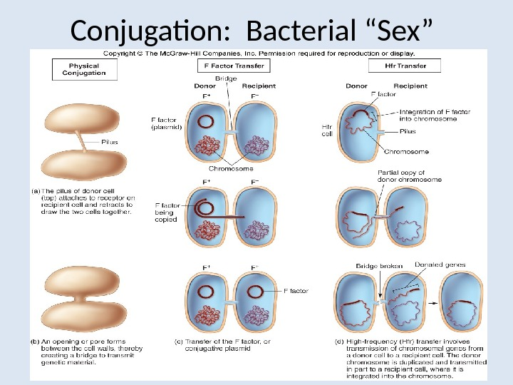 "Conjugation:  Bacterial ""Sex"""