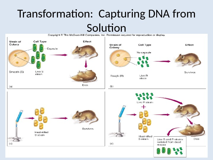 Transformation:  Capturing DNA from Solution