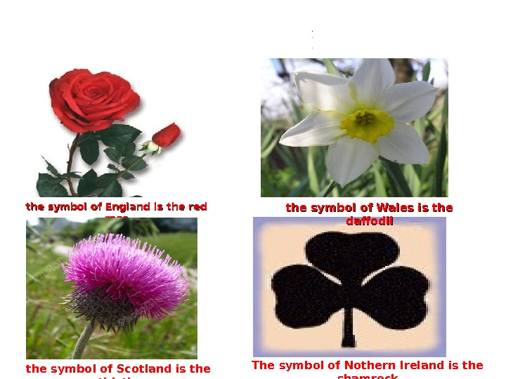 the symbol of England is the red rose the symbol of Wales is the daffodil the