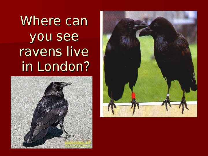 Where can you see ravens live in London?