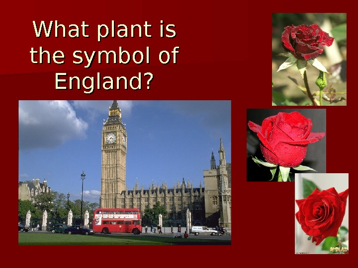 What plant is the symbol of England?