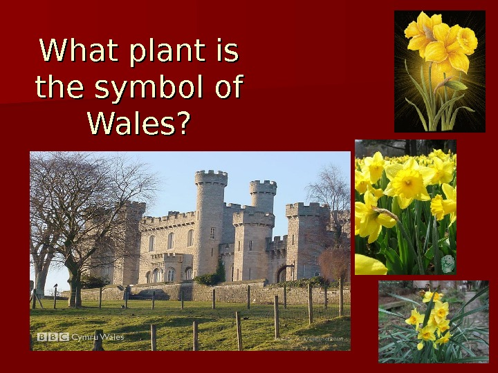 What plant is the symbol of Wales?