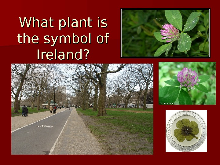What plant is the symbol of  Ireland?