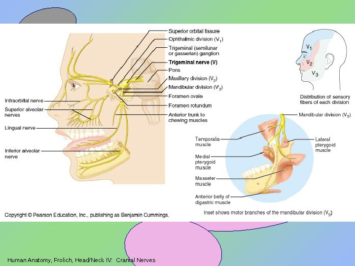 Human Anatomy, Frolich, Head/Neck IV:  Cranial Nerves