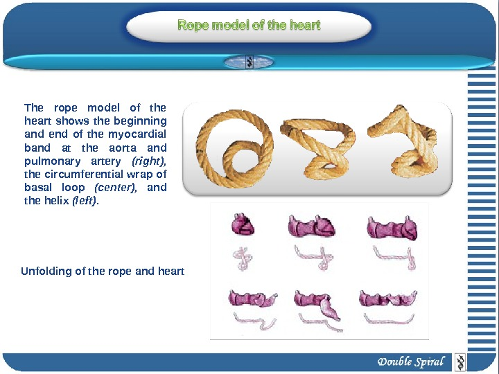The rope model of the heart shows the beginning and end of the myocardial band at