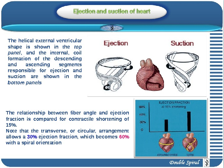 The relationship between fiber angle and ejection fraction is compared for contractile shortening of 15. Note