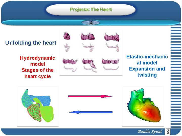 Hydrodynamic model Stages of the heart cycle Elastic-mechanic al model Expansion and twisting. Unfolding the heart