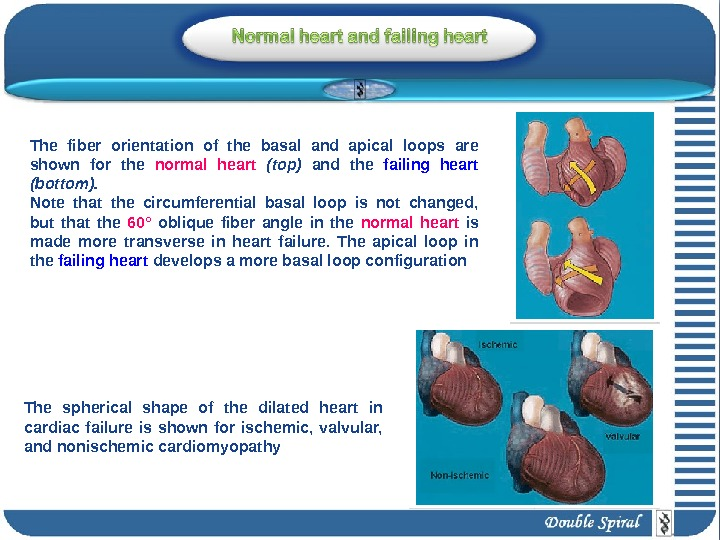The fiber orientation of the basal and apical loops are shown for the normal heart