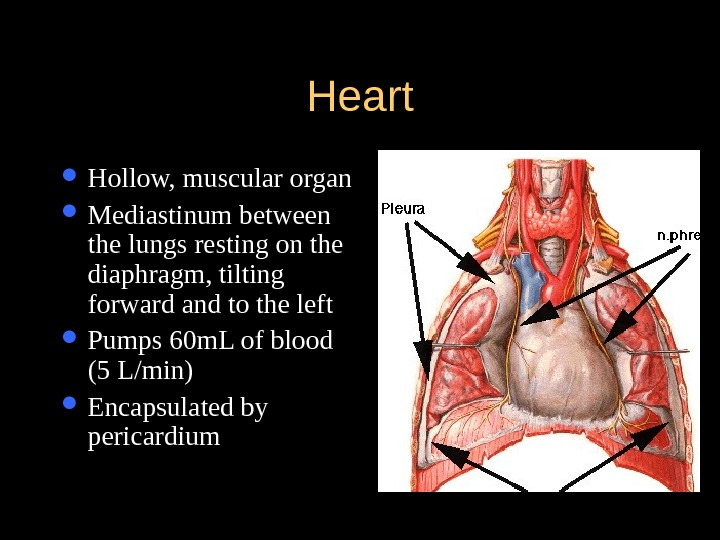 Heart Hollow, muscular organ  Mediastinum between the lungs resting on the diaphragm, tilting forward and