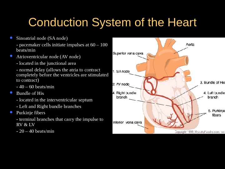 Conduction System of the Heart Sinoatrial node (SA node) - pacemaker cells initiate impulses at 60