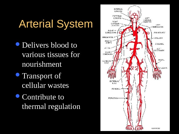 Arterial System Delivers blood to various tissues for nourishment Transport of cellular wastes Contribute to thermal