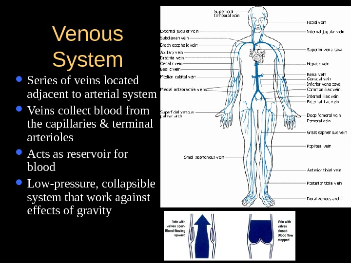Venous System Series of veins located adjacent to arterial system Veins collect blood from the capillaries
