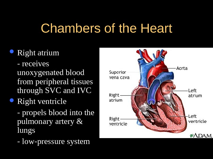 Chambers of the Heart Right atrium - receives unoxygenated blood from peripheral tissues through SVC and