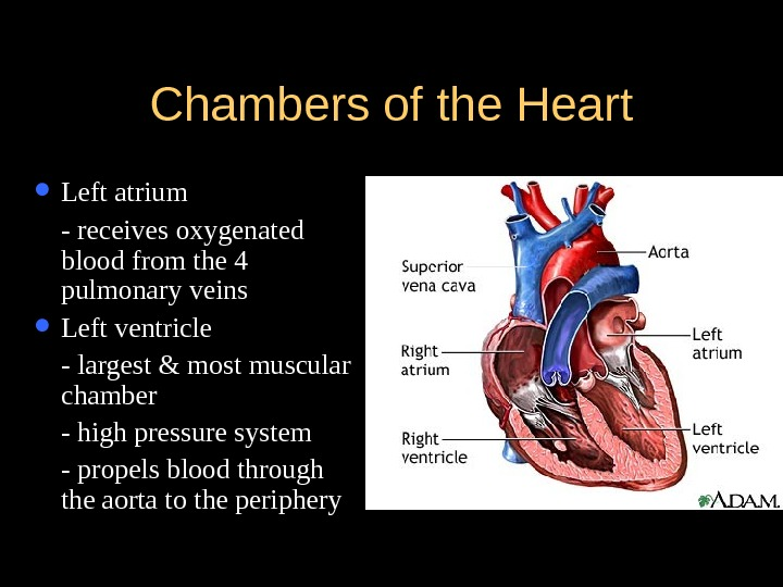 Chambers of the Heart Left atrium - receives oxygenated blood from the 4 pulmonary veins