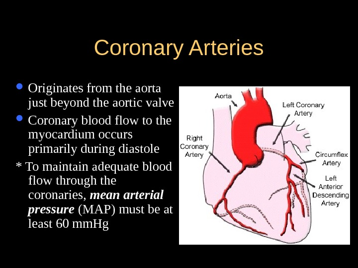 Coronary Arteries Originates from the aorta just beyond the aortic valve Coronary blood flow to the