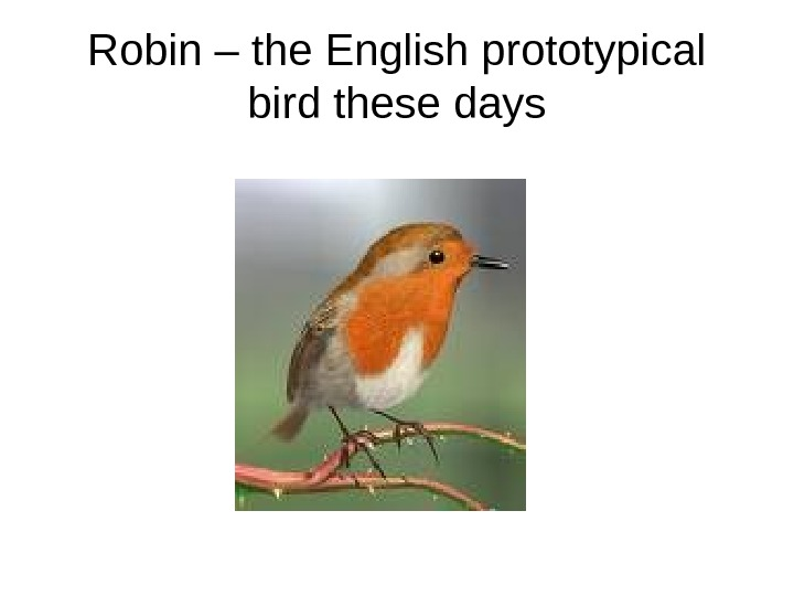 Robin – the English prototypical bird these days