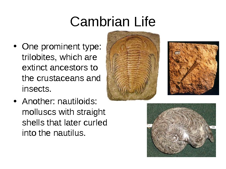 Cambrian Life • One prominent type:  trilobites, which are extinct ancestors to the