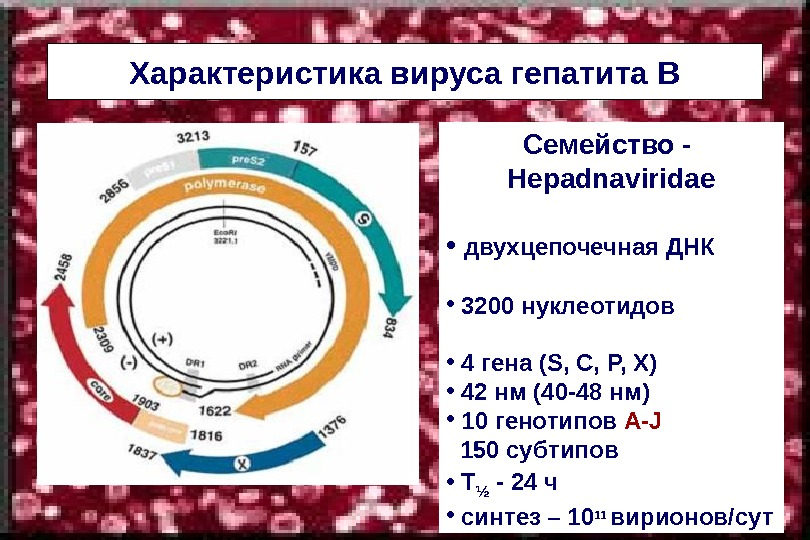 Характеристика вируса гепатита В   Семейство -  Hepadnaviridae •  двухцепочечная ДНК  •