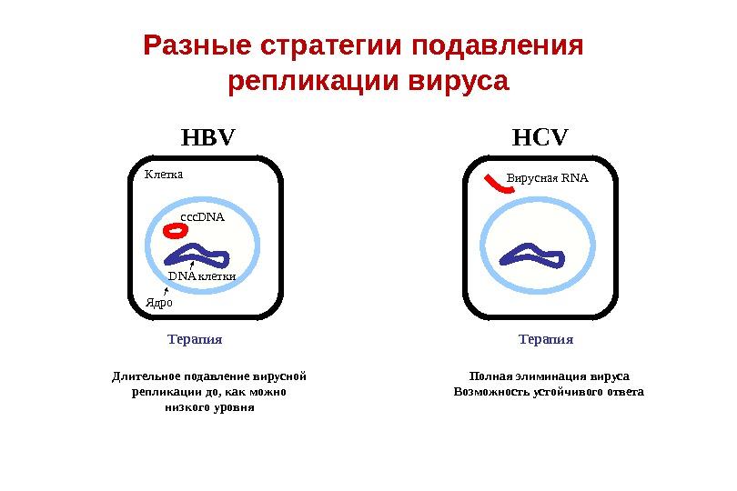DNA клетки. Разные стратегии подавления репликации вируса Клетка Ядро HBV HCV ccc. DNA Вирусная RNA Терапия