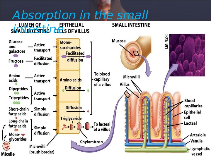 Absorption in the small intestine