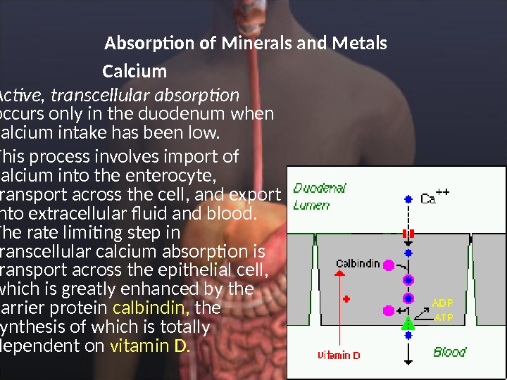 Absorption of Minerals and Metals  Calcium  Active, transcellular absorption occurs only in the duodenum