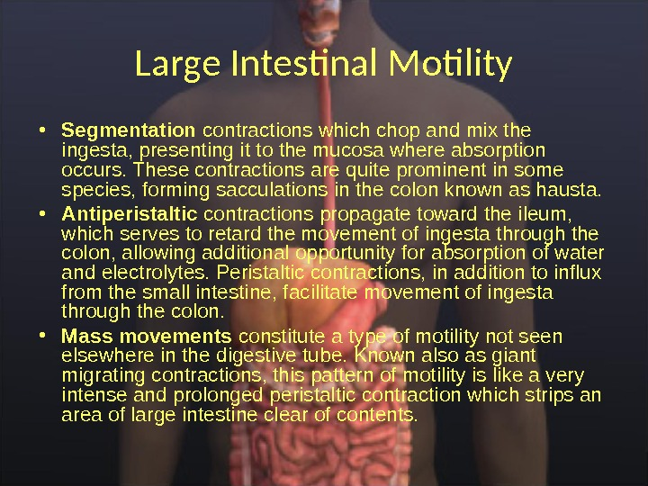 Large Intestinal Motility • Segmentation contractions which chop and mix the ingesta, presenting it to the