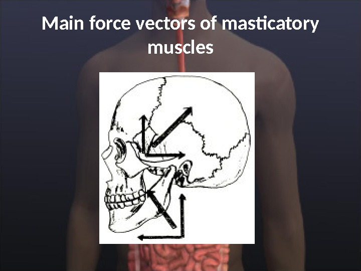 M ain force vectors of masticatory muscles