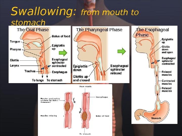 Swallowing:  from mouth to stomach The Oral Phase The Pharyngeal Phase The Esophageal Phase