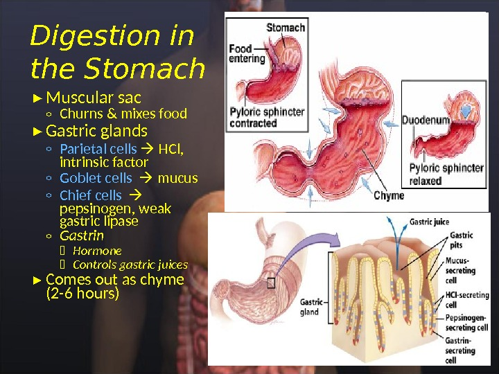 Muscular sac ◦ Churns & mixes food Gastric glands ◦ Parietal cells HCl,  intrinsic