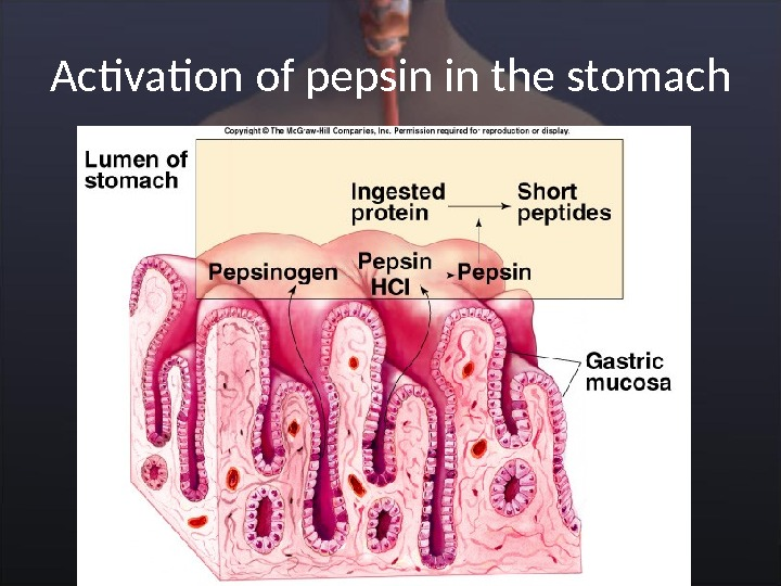 Activation of pepsin in the stomach