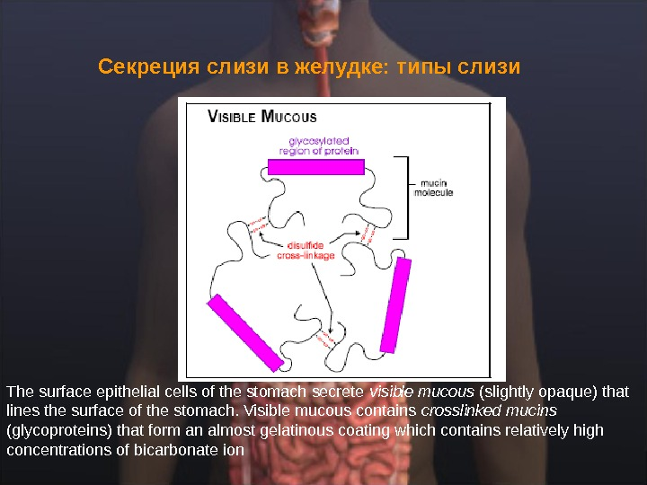 Секреция слизи в желудке: типы слизи  The surface epithelial cells of the stomach secrete visible